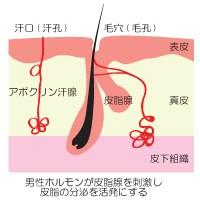 男性ホルモンが皮脂腺を刺激し皮脂の分泌を活発にする